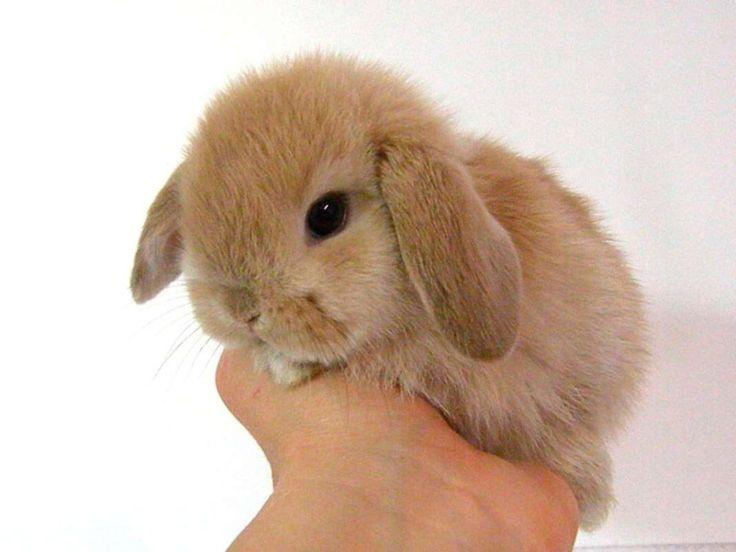Resultado de imagen de imagenes de conejos enanos