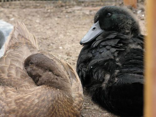The virtues of backyard ducks