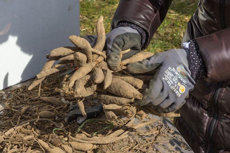 Organic flower farming, preparing dahlia bulbs, vildevioler.dk, March 2016