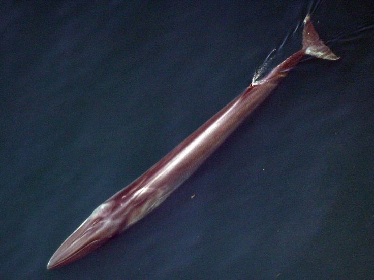 A recent study has shown Fin whale populations in the Mediterranean has increased 300% over 20 years!!!!!!
