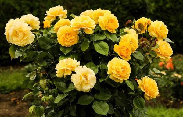 Cómo quitar las plagas de los rosales. Sin duda una de las plantas que mejor queda en un jardín es el rosal. Ya sean rojas, amarillas, color rosa o blancas, sin importar el tono sientan bien las pongas donde las pongas, pero esta planta es...