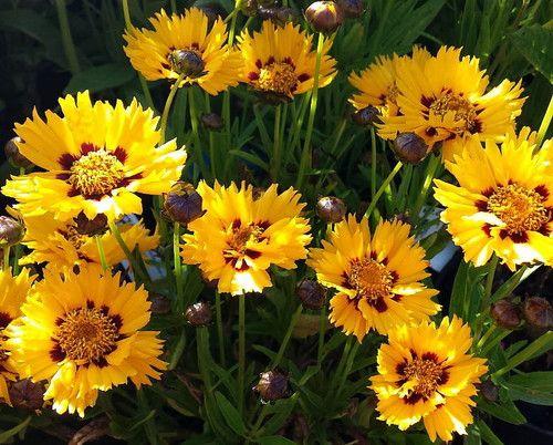 Sunfire Coreopsis - Fleuroselect Gold Medal Winner - Live Plant - Quart Pot