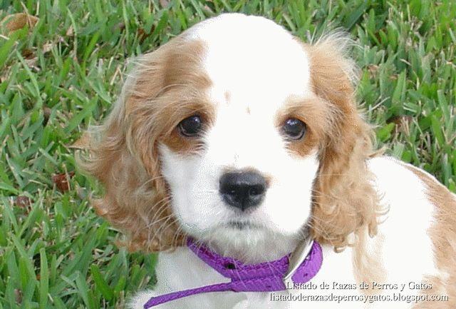 Imágenes de cachorros de Cocker Spaniel Americano. Raza de perros (Pictures of American Cocker Spaniel puppies. Breed of dog)