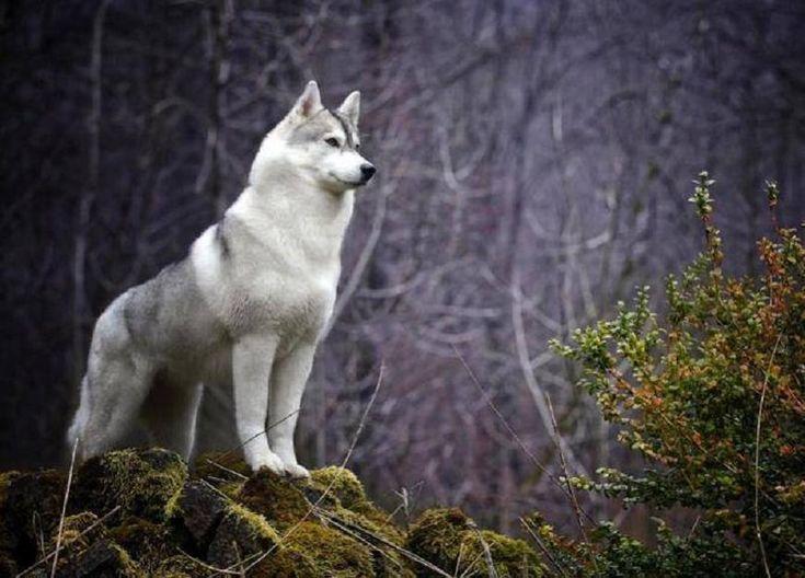 Es un gran lobo blanco precioso