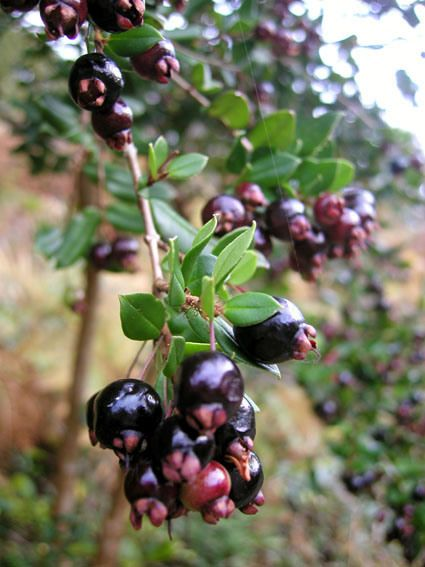 Arrayan Macho (Raphitamnus spinosus) is a small tree native to Chile producing round,dark purple edible fruits