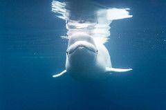 aquarium whale beluga mystic