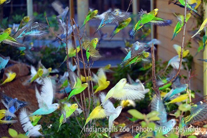Budgies take flight! | Indy Zoo | Pinterest | Budgies ...