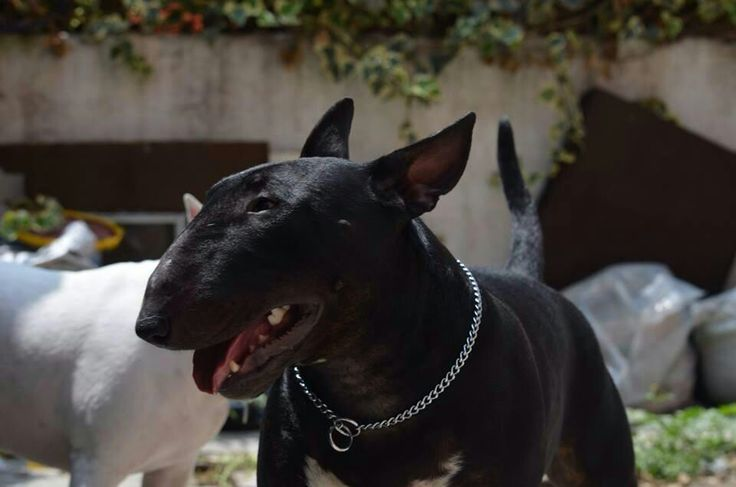 OOoo! I've never seen a black bull terrier before ...
