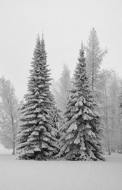 Christmas Trees  filled with snow