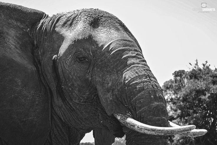 Ella se crio con los bufalo y por ello decide vivir con ellos, apartada de los elefantes.