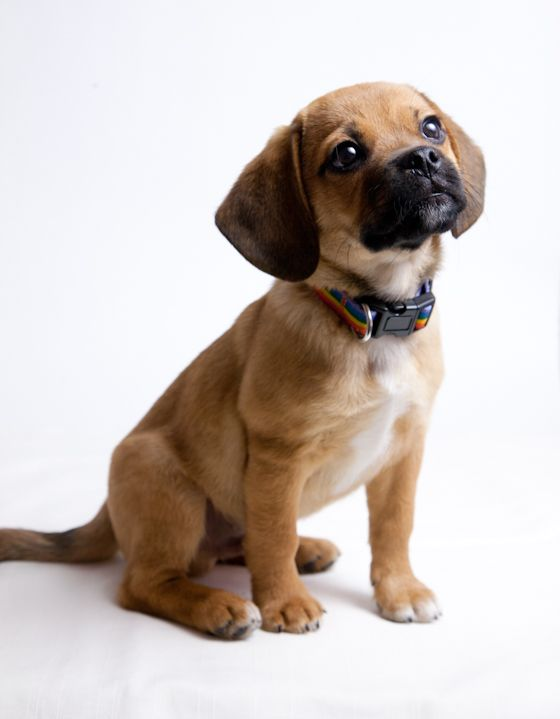 Barley at 12 Weeks » | My best friend, Puggle puppies and ...