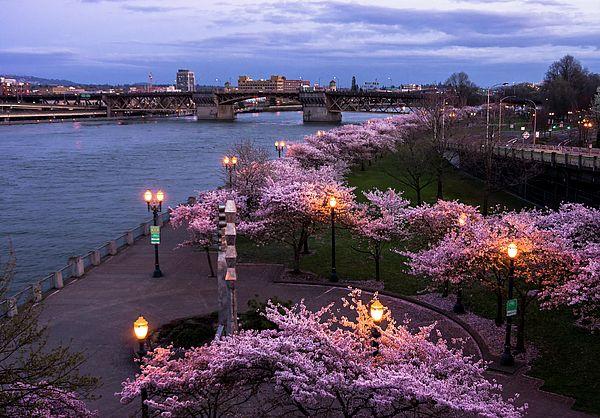 Waterfront Park In Portland Oregon Cherry Blossom Canvas Prints Metal Prints