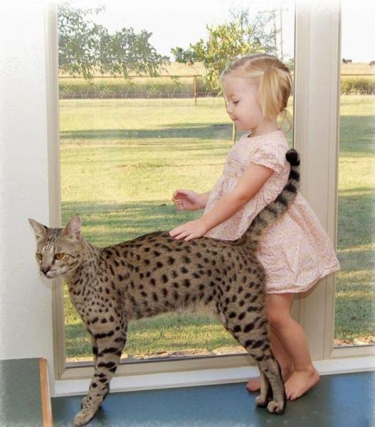 Savannah cats are a cross breed of a house cat and a Serval. They are beautiful as well!