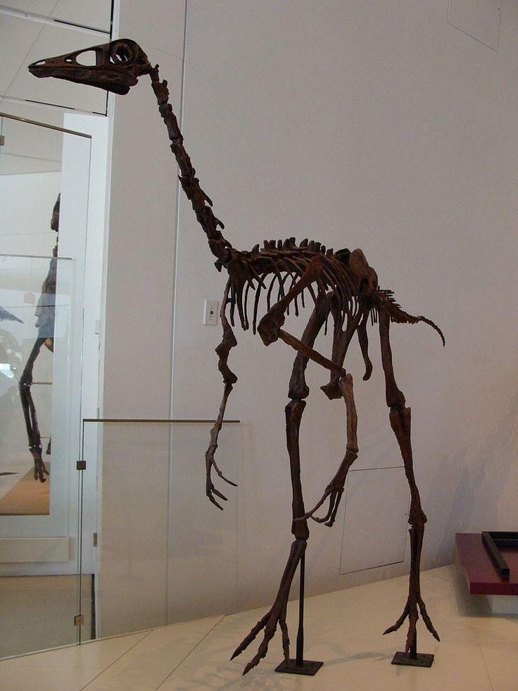 Ornithomimus, Musée royal de l'Ontario. Dinosauria, Saurischia, Theropoda, Ornithomimosauria, Ornithomimidae, Ornithomiminae. Auteur : Eduard Solà, 2012.