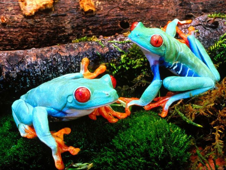 Red-eyed tree frogs are iconic rain-forest amphibians. They sleep during the day, hidden away, and stuck to the bottom of a leafs, keeping eyes closed and legs tucked in to cover body markings.