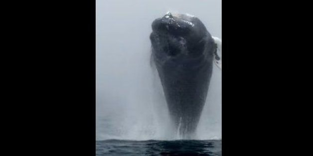 Humpback's Leap Stuns Whale Watchers - Brier Island Humpback Whale Video Captures Unreal Breach (Bay of Fundy, Canada)