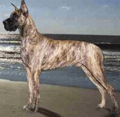 GDCNE - Buying a Great Dane