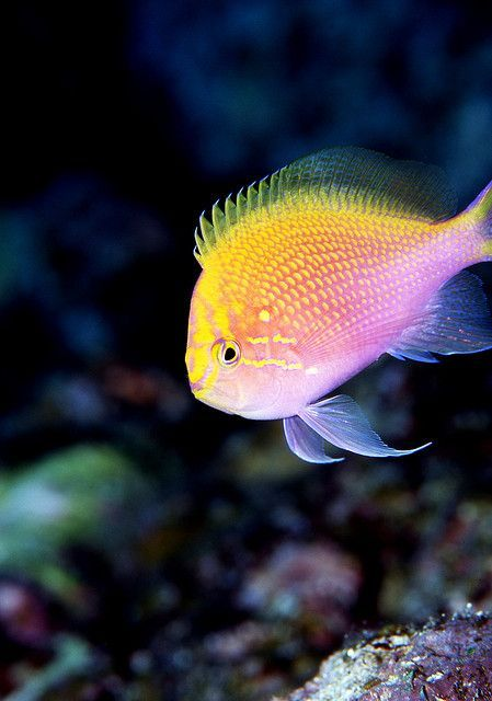 The 1143 best images about sea life art on pinterest for Pretty freshwater fish