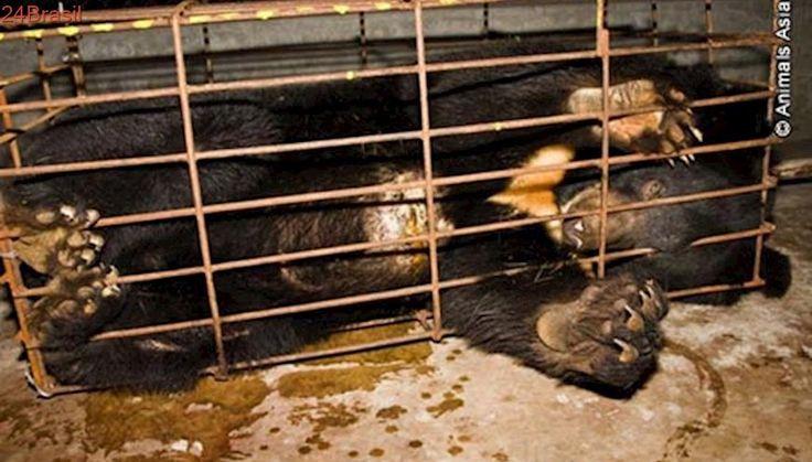 Urso é libertado depois de 9 anos de exploração em fábrica
