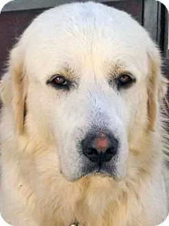 10/2/14 Beacon, NY - Great Pyrenees. Meet Angel - new!, a dog for adoption. http://www.adoptapet.com/pet/11674797-beacon-new-york-great-pyrenees