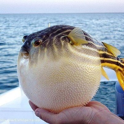 1095 best images about animal kindom except birds on for Puffer fish diet