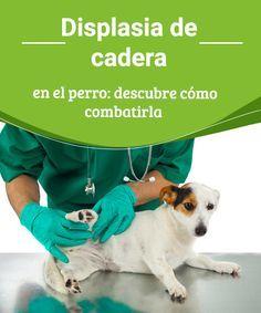 Displasia de cadera en el perro: descubre cómo combatirla ¿Sabes a a qué se denomina displasia de cadera en el perro? Lee en este artículo acerca de esta enfermedad que afecta a gran número de mascotas. #prevenir #salud #enfermedades #perros