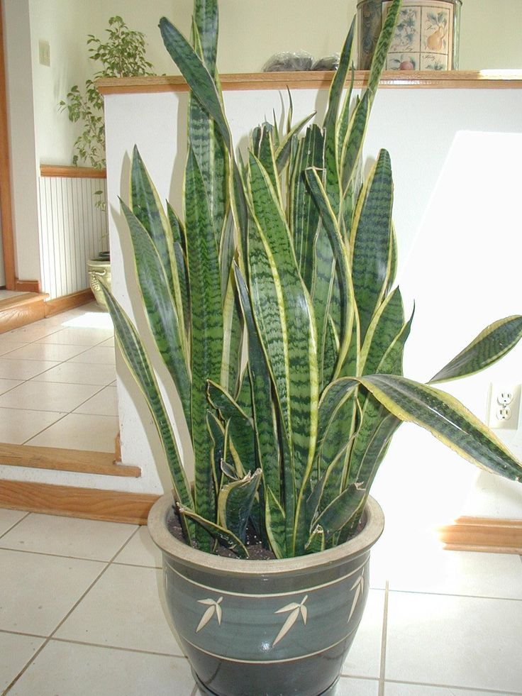 full size picture of snake plant mother in law 39 s tongue sansevieria trifasciata can. Black Bedroom Furniture Sets. Home Design Ideas