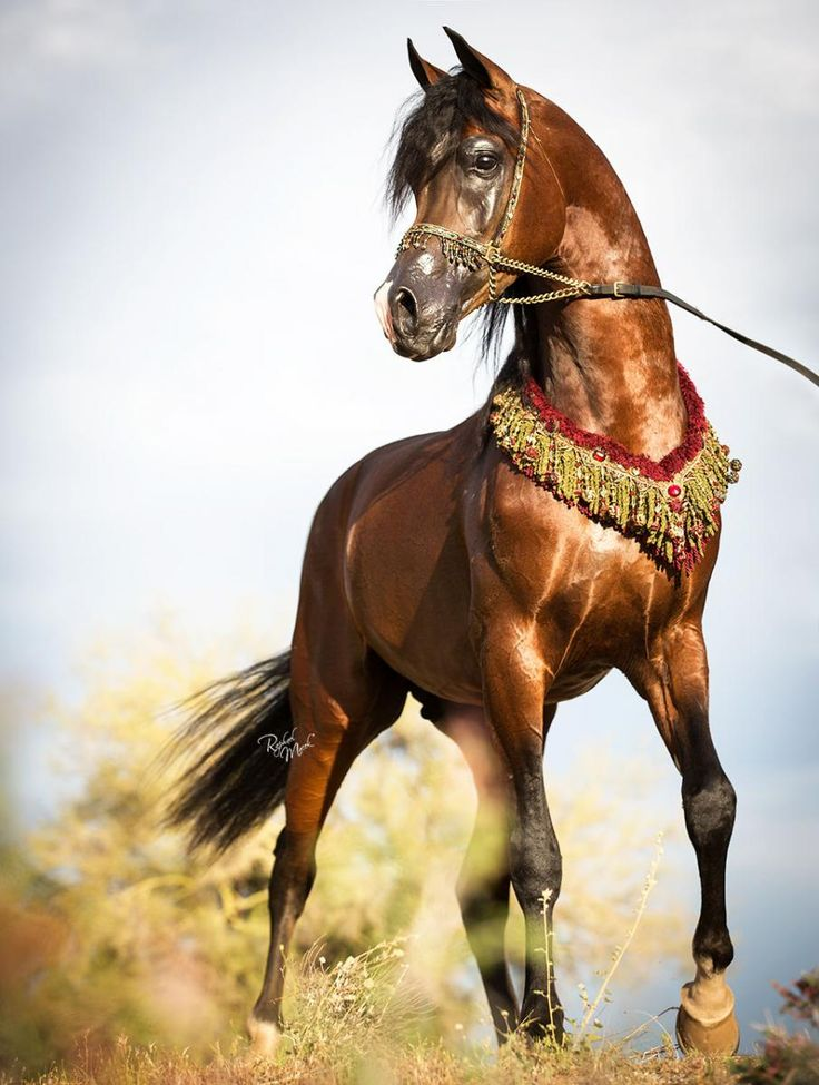 Bay Arabian Horse Painting | Collection 15+ Wallpapers