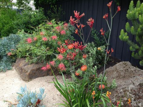 features grevilleas and kangaroo paws with succulents and carefully placed rocks add to the Australian feel