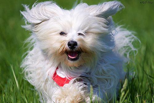 Langhaar Hund beim Rennen - Long-haired dog in the fast running