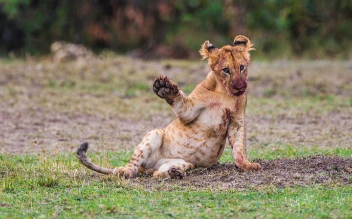 2016-en-komik-hayvan-fotograflari-yavru-aslan.jpg (720×449)