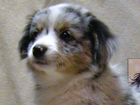 Blue merle female toy Australian Shepherd puppy.  Awww she could be Indy's girlfriend