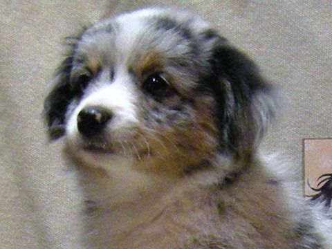 Blue merle female toy Australian Shepherd puppy