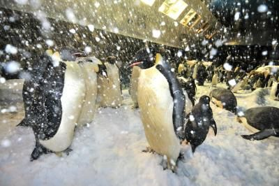 Celebrate Penguin Awareness Day at SeaWorld San Diego