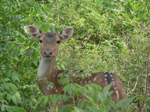 Indian animals--Chital Deer