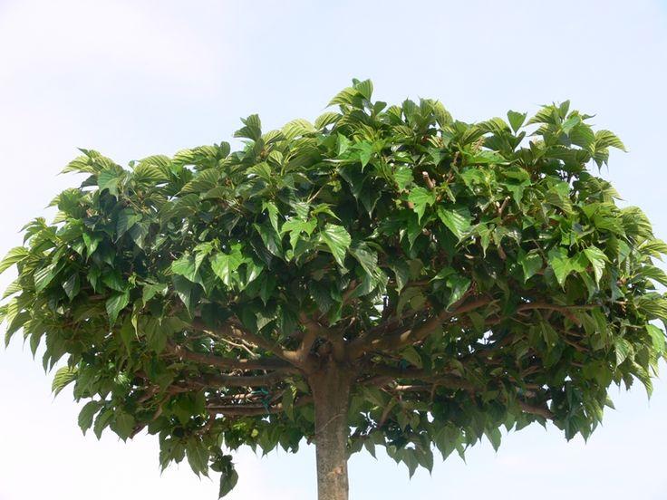 M s de 25 ideas incre bles sobre rboles de sombra en for Arboles de jardin que den sombra