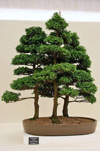 Chamaecyparis Obtusa Seeds (Hinoki False Cypress, Japanese Cypress Seeds)  for sale on rarexoticseeds. International shipping of rare and exotic plant  seeds.