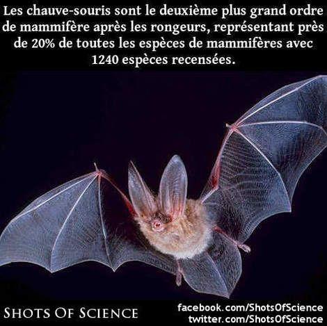 Lien (en anglais) : https://en.wikipedia.org/wiki/Bat #chauve #mammifère #ordre Les chauve-souris sont le deuxième plus grand ordre de mammifère après les rongeurs représentant près de 20% de toutes les espèces de mammifères avec 1240 espèces recensées.
