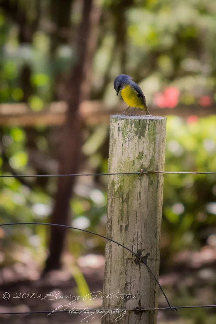 An Eastern Yellow Robin surveying the fence at my place.