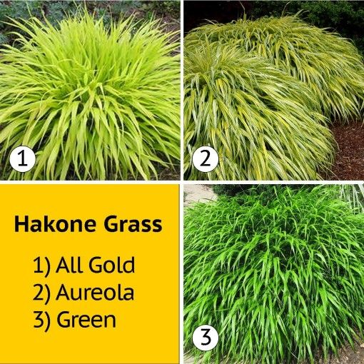 Hakone Grasses - for the mailbox area