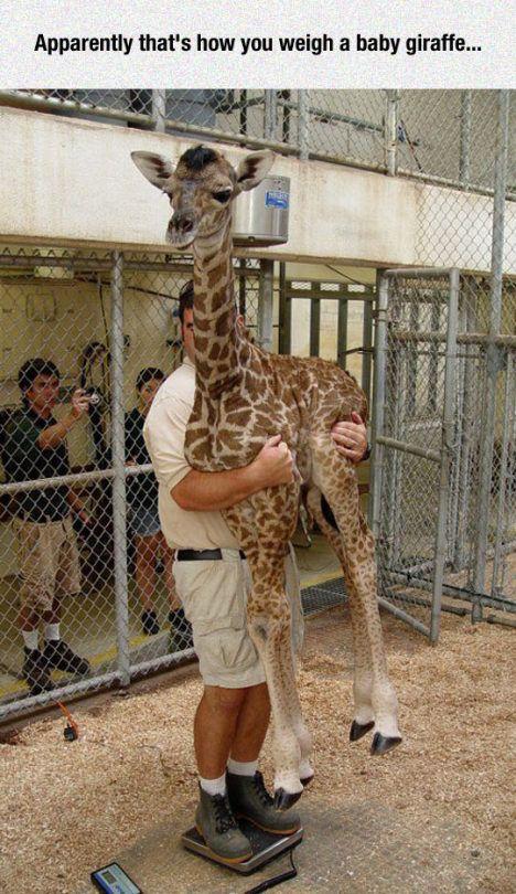 The proper way to weigh a baby giraffe.