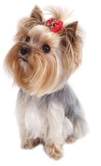 YORKSIRSKY-TERIER.VAS-PES.CZ - Jorkšírský teriér, Yorkshire Terrier, Jorkšír