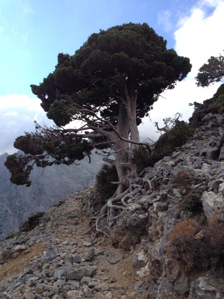 Wild Cypress - White Mountains - Crete