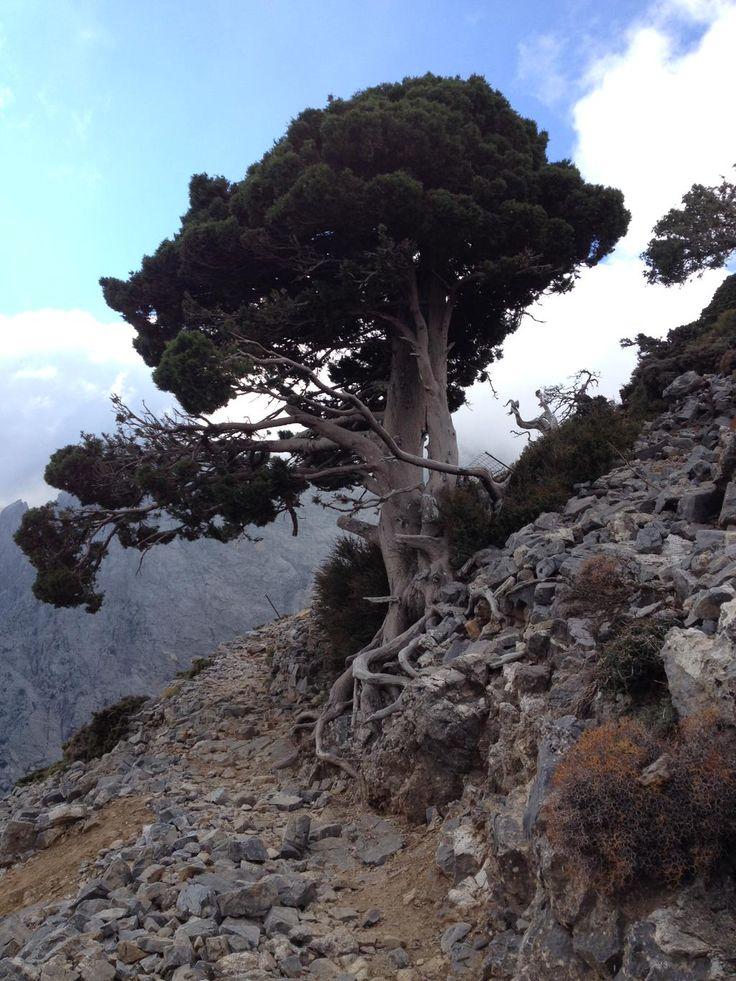 Wild Cypress - White Mountains - Crete