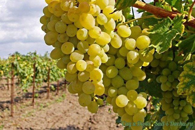 КАК ПРАВИЛЬНО ФОРМИРОВАТЬ ВИНОГРАД ДЛЯ БОЛЬШОГО УРОЖАЯ! Многие начинающие виноградари задаются вопросом, как формировать виноград, чтобы он приносил большие, а главное постоянные урожаи. Ведь именно от правильного формирования куста винограда в первую очередь зависит его урожайность. В областях, изначально не приспособленных для выращивания этой вкуснейшей ягоды, чаще всего выбирают укрывной метод выращивания, для которого формирование винограда выполняют в виде бесштамбового…