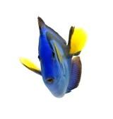 blue tang, los peces marinos de coral aisladas sobre fondo blanco stock photography