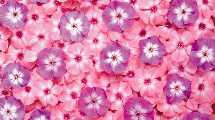 Flowers Pink wallpaper as background.
