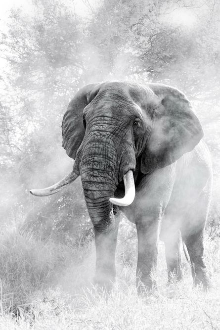 After a quick head shake, the dust swirled in the morning light before casting a shadow through the elephant. Photo by Ross Couper