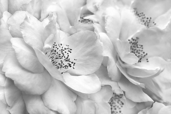 soft silver gray Rose flower photography art for your home or office decor. #gray #grey #silver #rose