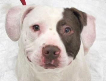 12 / 2 Petango.com – Meet Maurice, a 3 years 4 months Terrier, Pit Bull / Terrier, American Staffordshire available for adoption in TWINSBURG, OH Contact Information Address 7996 Darrow Road, TWINSBURG, OH, 44087 Phone (330) 487-0333 Website http://www.summithumane.org Email info@summithumane.org
